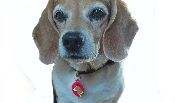 dog tag with Maggie