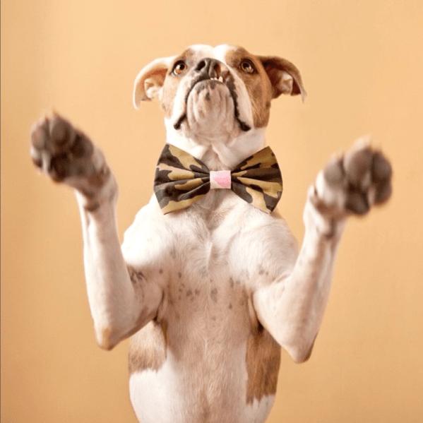 reward based dog training bowtie