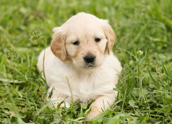 dog teeth puppy