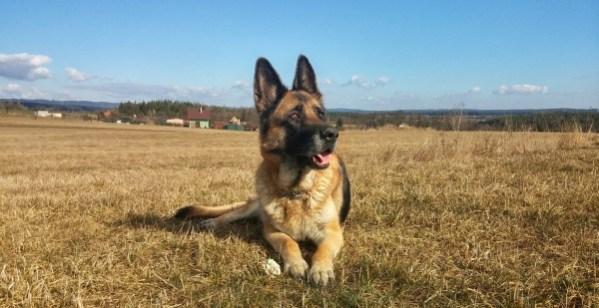 Manliest Dog German Sheppard