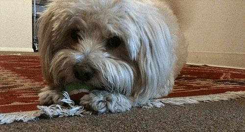dog fur on carpet