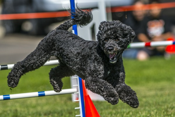 dog play Agility