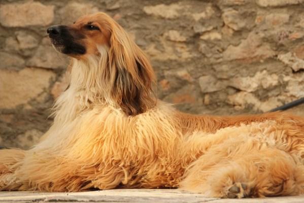 dog fur types long