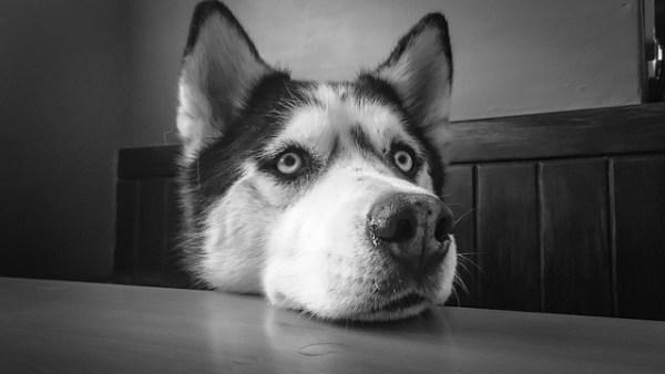 Siberian Huskies smart