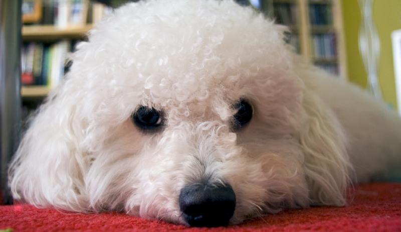 dog breeds poodles