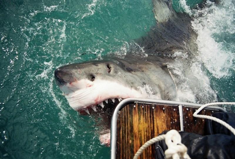 shark diving safe