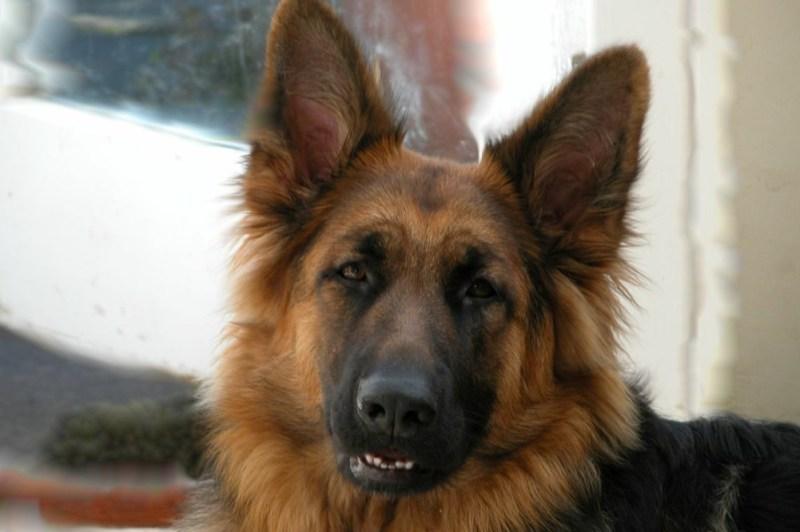 German Shepherd Puppy male