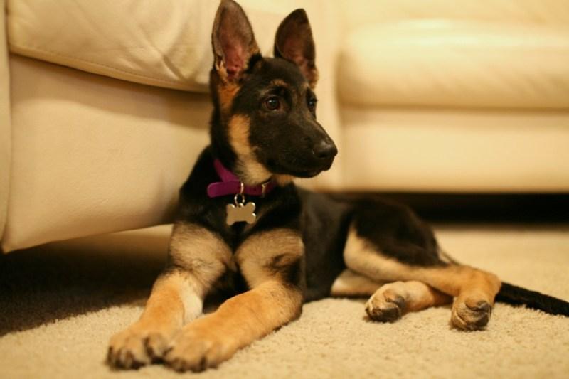 German Shepherd Puppy sit
