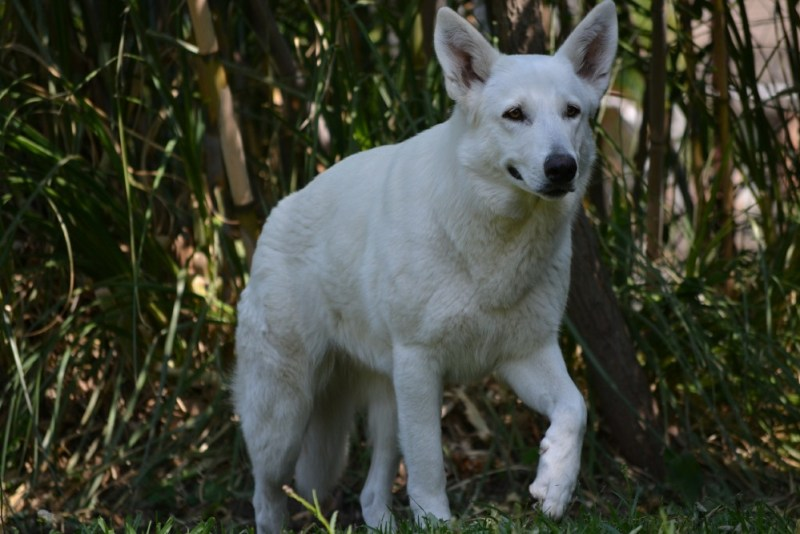 German Shepherd Puppy white