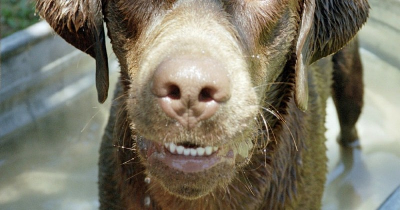 dog's teeth lab