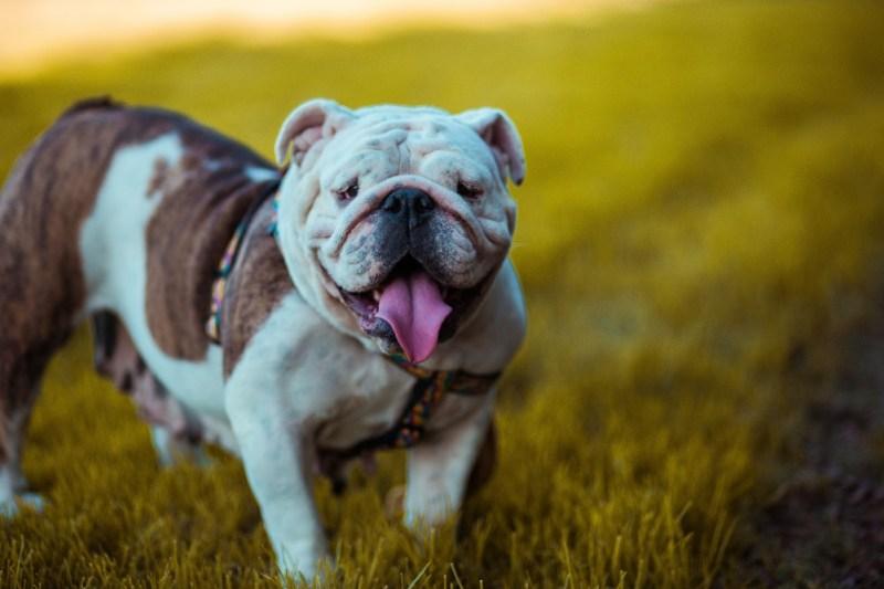 food diet bulldog