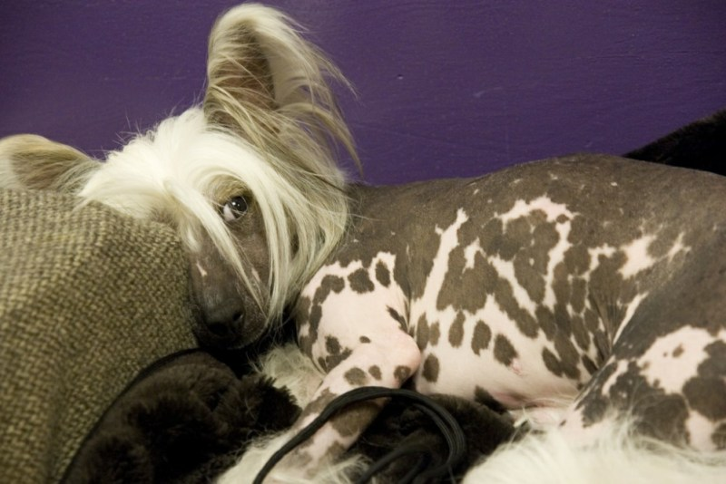 Chinese Crested small dog