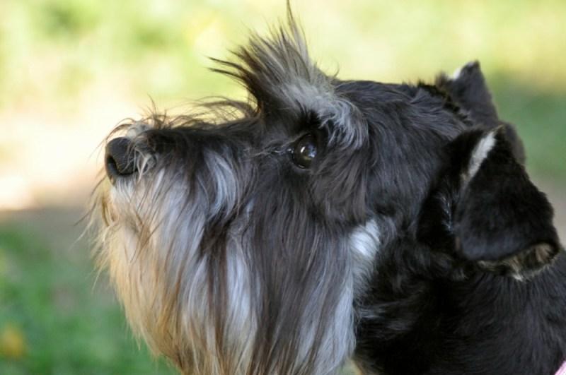 Miniature Schnauzer small dog