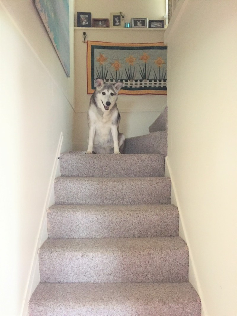 Senior Dog Antics top of the second floor steps, thinking