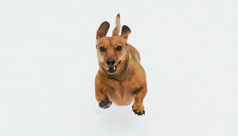 cdb oil health dog