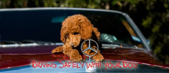 driving safely with a dog cover