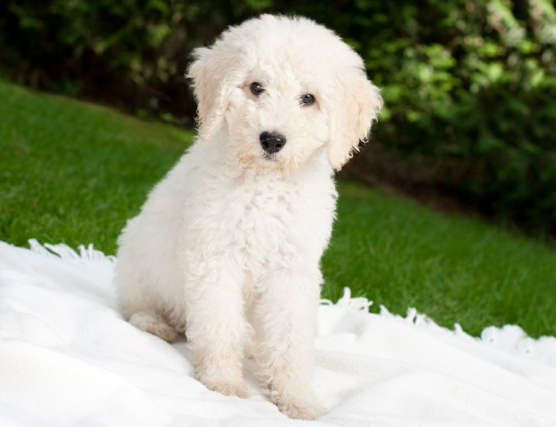 Bichon Frise small size dogs puppies