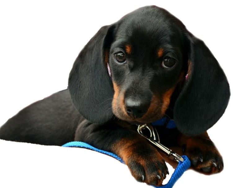daschund new puppy