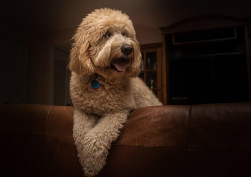 doodle designer dog