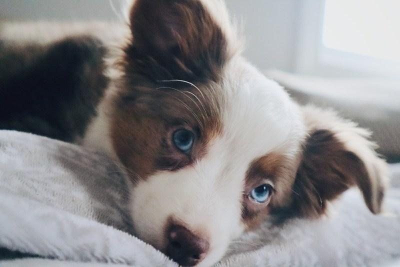 Mini Australian Shepherds puppy