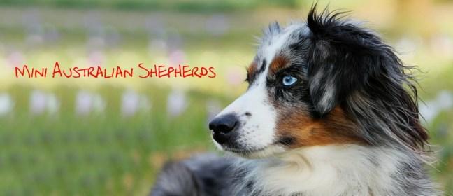 mini australian shepherds cover