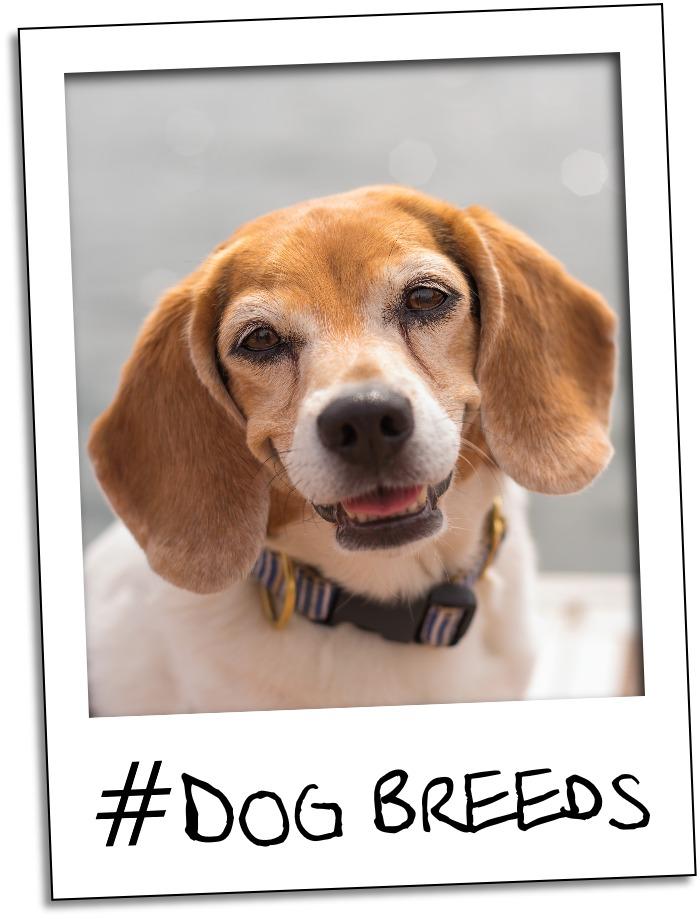 dog breed gr