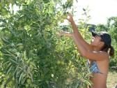 Apple Thinning