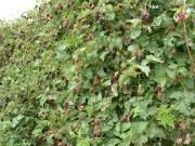 Boysenberry Bush Appleby