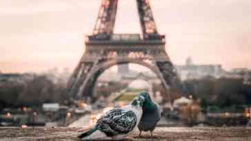 Zakochane wróble w Paryżu