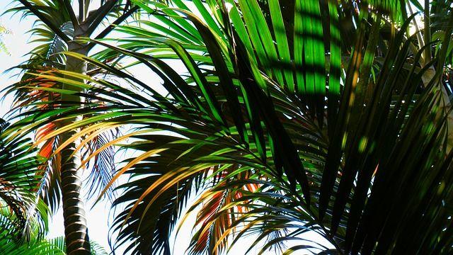 Alicante, Hiszpania - drzewa palmowe