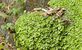 Moss the new weed?