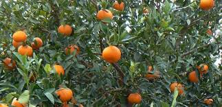 """Smuggling Hash In Oranges, Officers From The Guardia """"Seville"""" Arrest Brits"""
