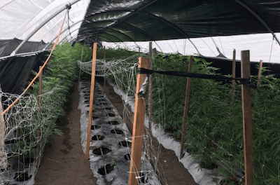 CA: Santa Barbara Raids of Illegal Grows Net 20 Tons Last Week