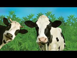 Cows On Hemp ?