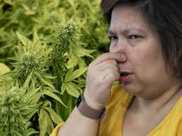 Canadian Town  Proposes  New Law to Ban Smell of Weed