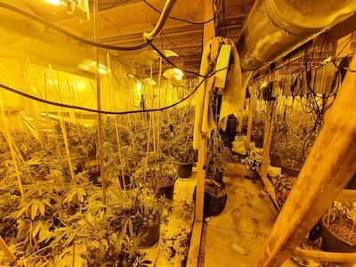 UK: Hundred of weed plants found in church