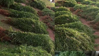 Fiji:  More than 1,000 marijuana plants seized in Kadavu this week
