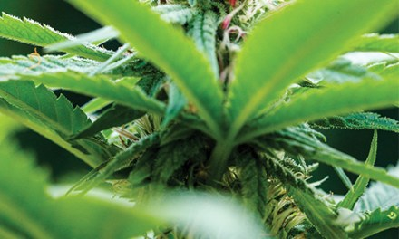 Article: Breeding Tropical Genetics With the Hawaiian Seed Company