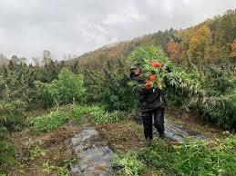 Vermont: Robbed hemp farmer gets new plants