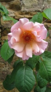 Ray Tyndale's lovely summer rose