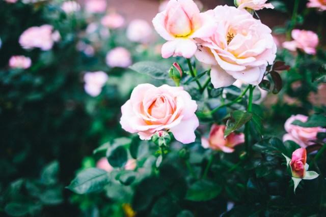 Rose Garden - Waketon Road Blog-11