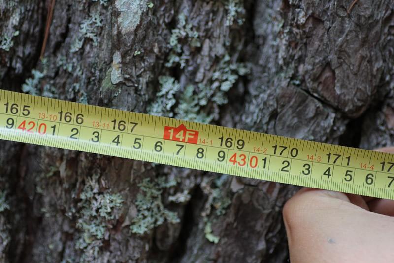 Belleville's Big Pine has a fourteen foot trunk
