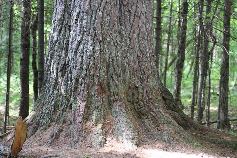 Belleville's Big Pine the base measures at over fourteen feet