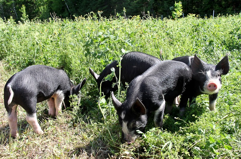 Young Berkshire pigs on pasture