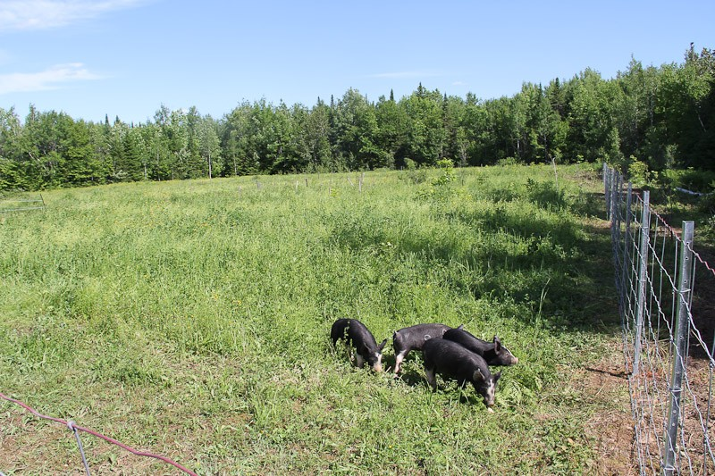 Pasture for Berkshire Pigs