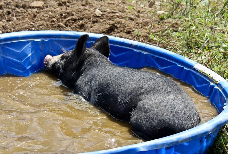 Plastic kiddie pools for pigs