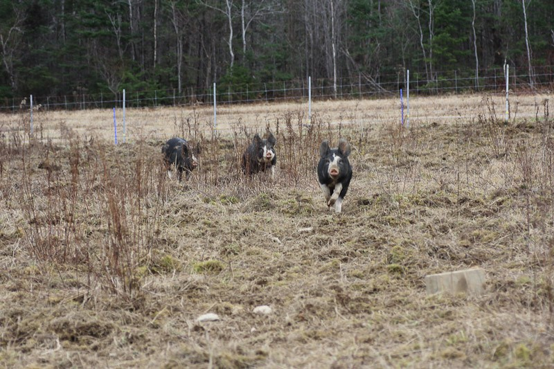 Pasture rooted up by pigs