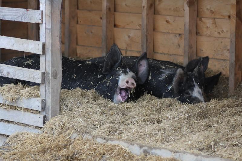 pigs snuggled up together in shelter