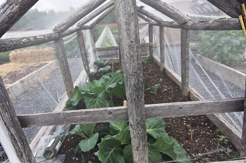 cabbage protected by netting