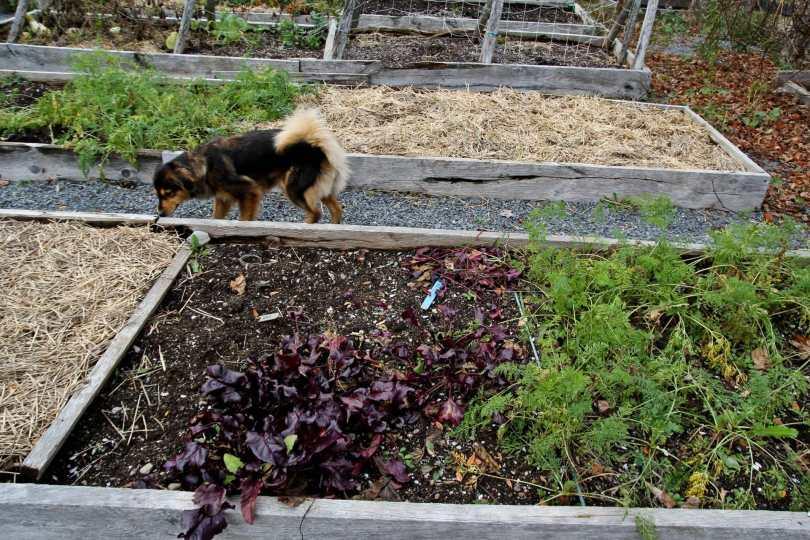The late autumn vegetable garden